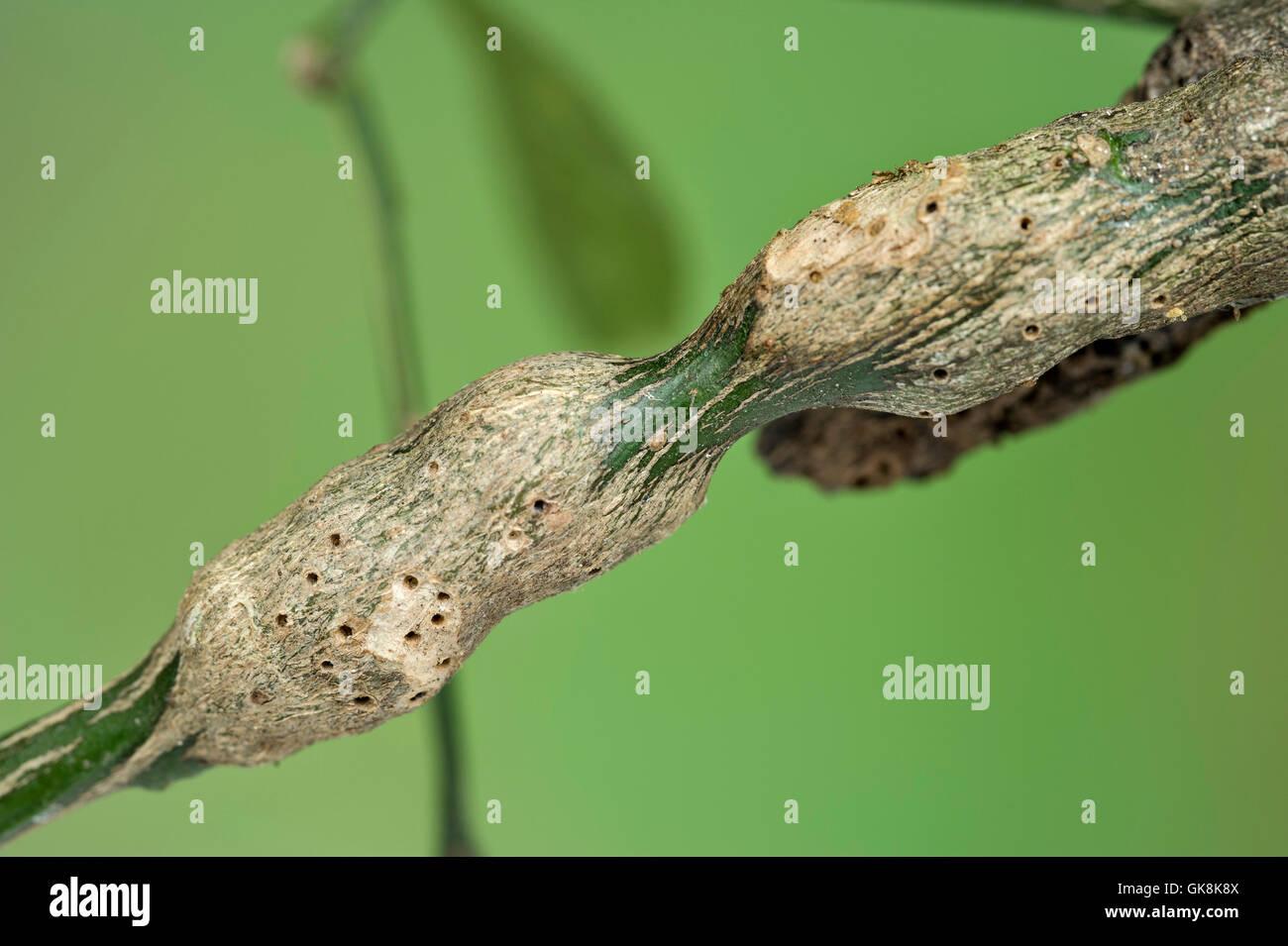 Citrus gall wasp damage to lemon tree - Stock Image
