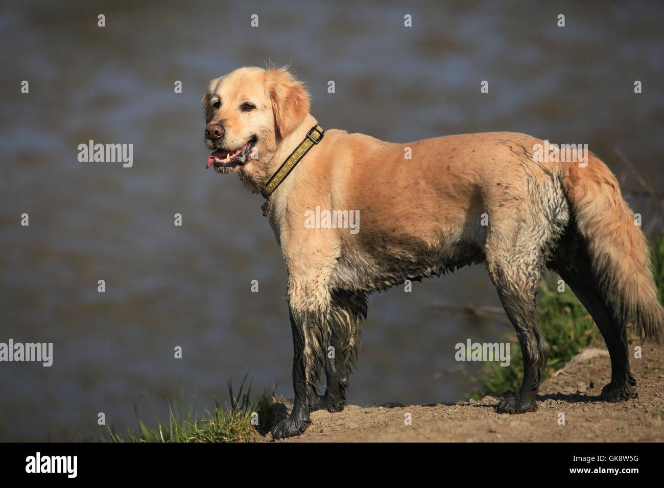 Happy Golden Retriever dog with muddy legs stands by water - Stock Image