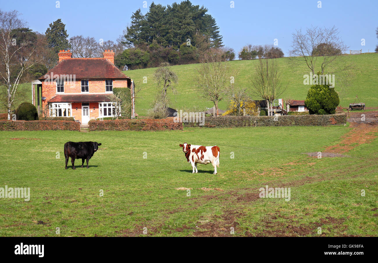 An English Rural Landscape with farmhouse and grazing cows - Stock Image