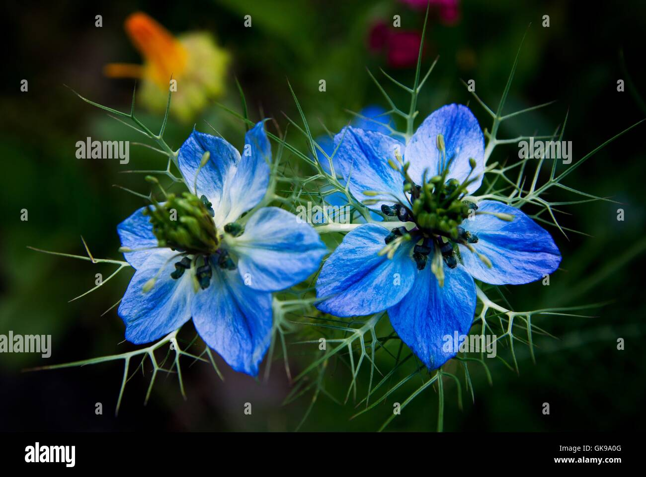 Black Cumin Flower Stock Photos & Black Cumin Flower Stock Images ...