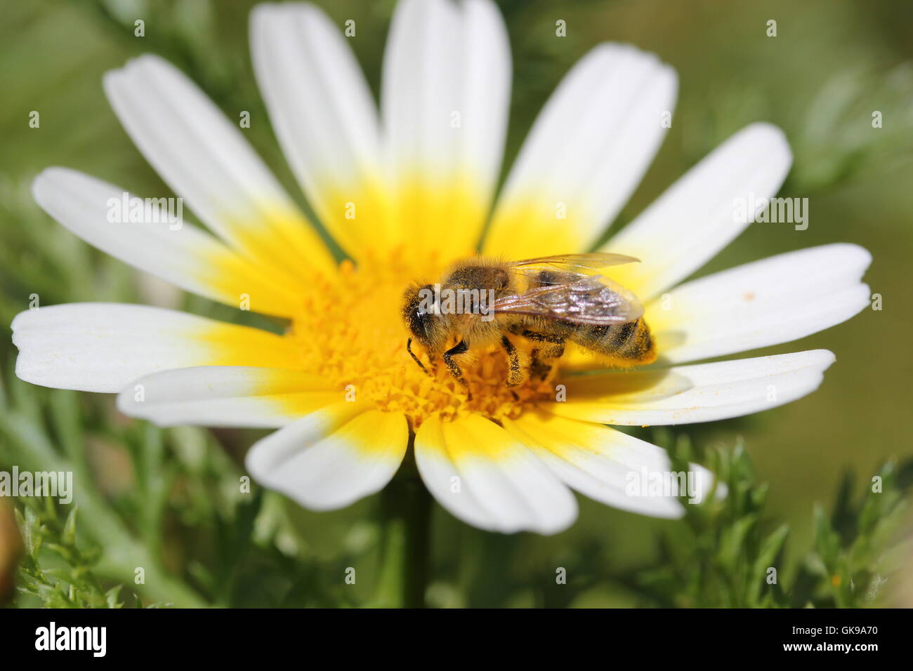bee on the chamomile flower - Stock Image