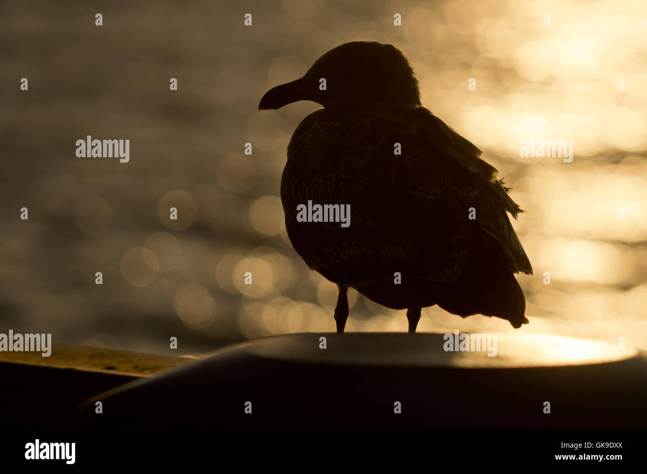 bird sunset shaddow - Stock Image