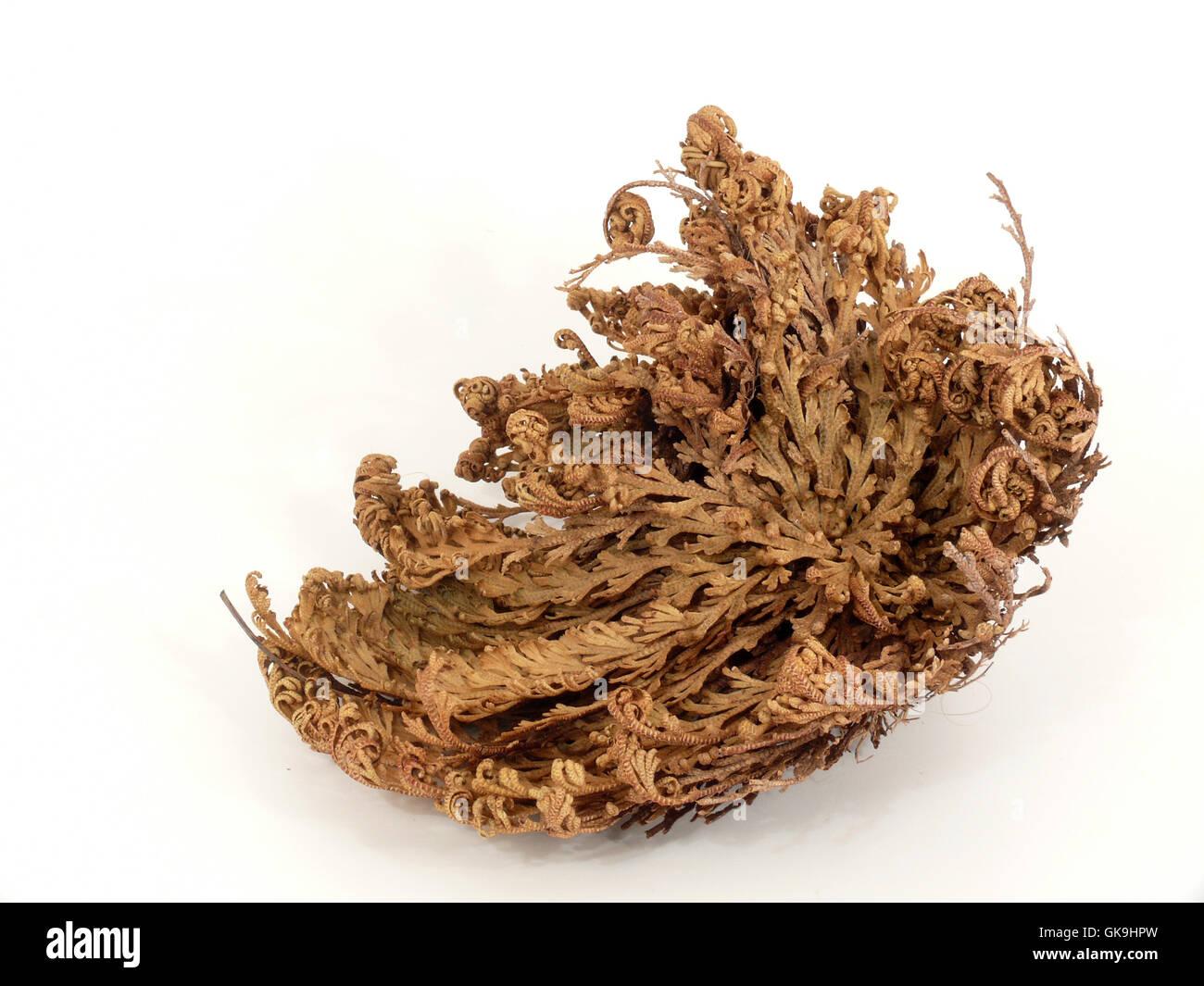 rose of jericho - Stock Image