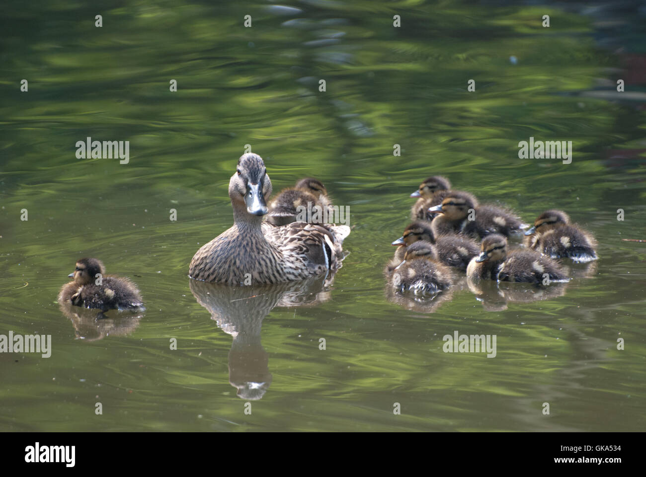 Ducks on Lymm Canal, Cheshire - Stock Image