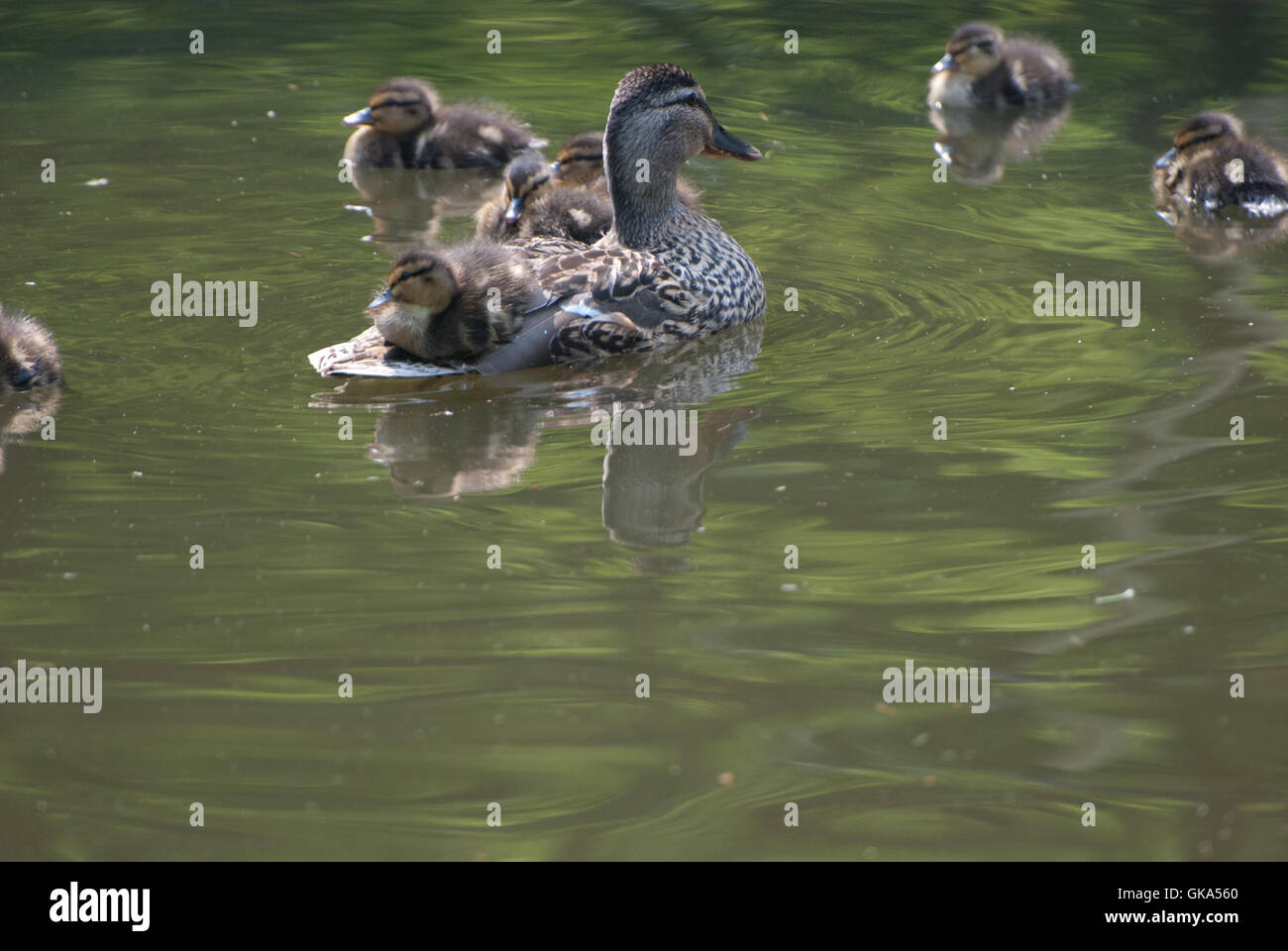 Ducks on Lymm Canal - Stock Image