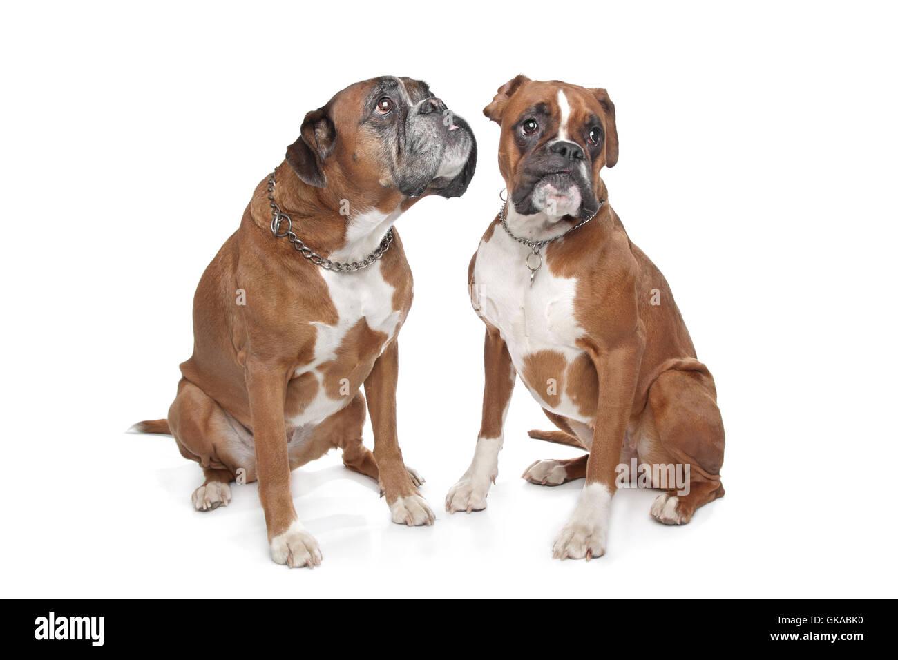 Fawn Boxer Stock Photos & Fawn Boxer Stock Images - Alamy