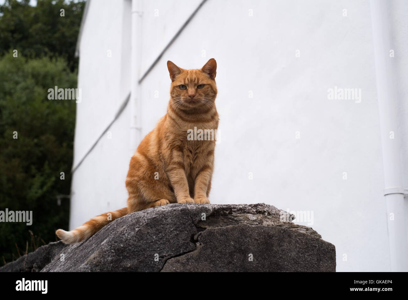 A ginger tom cat sat up on a wall in the late evening - Falmouth, Cornwall 19th August 2016 - Stock Image