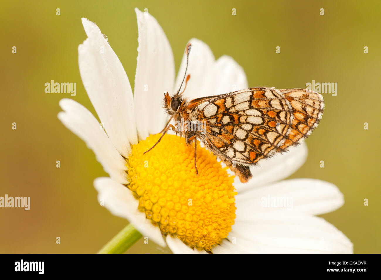 butterfly on daisy - Stock Image