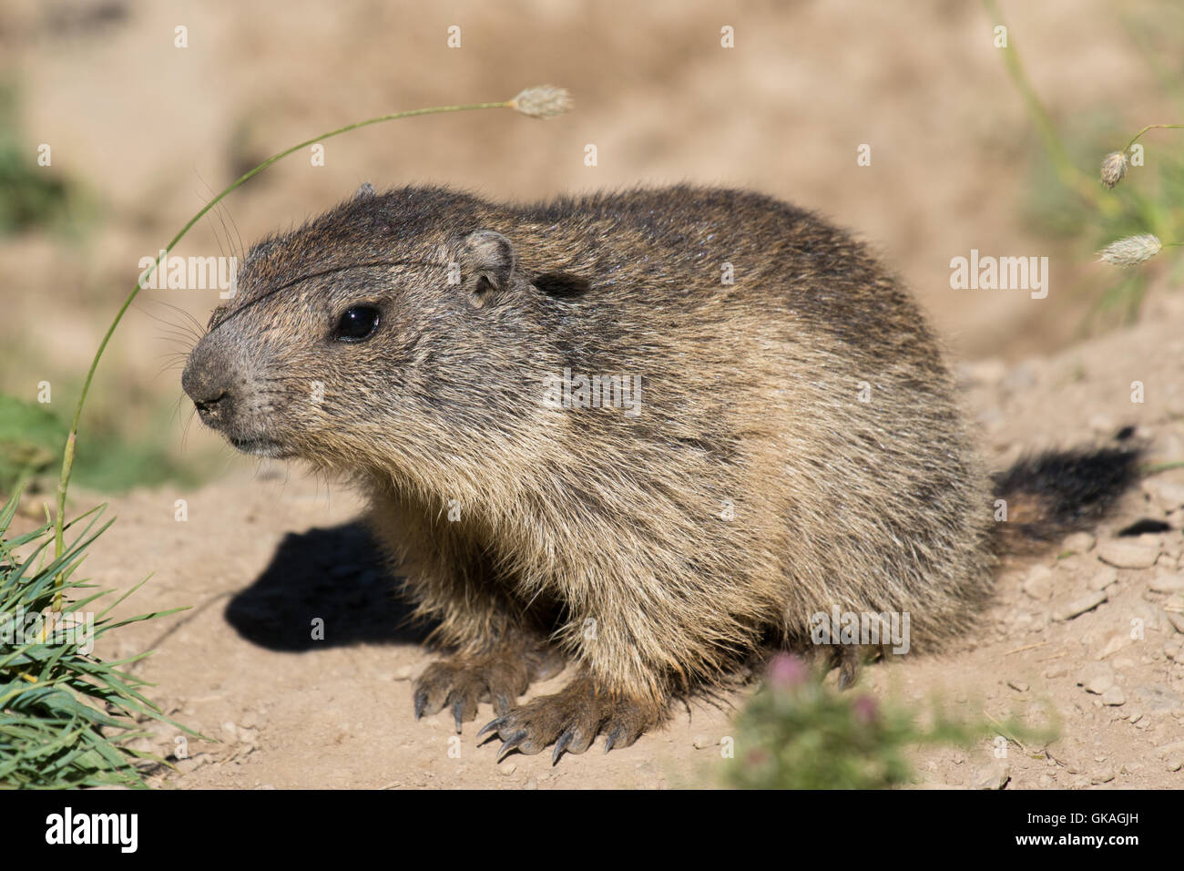young Alpine Marmot (Marmota marmota) - Stock Image