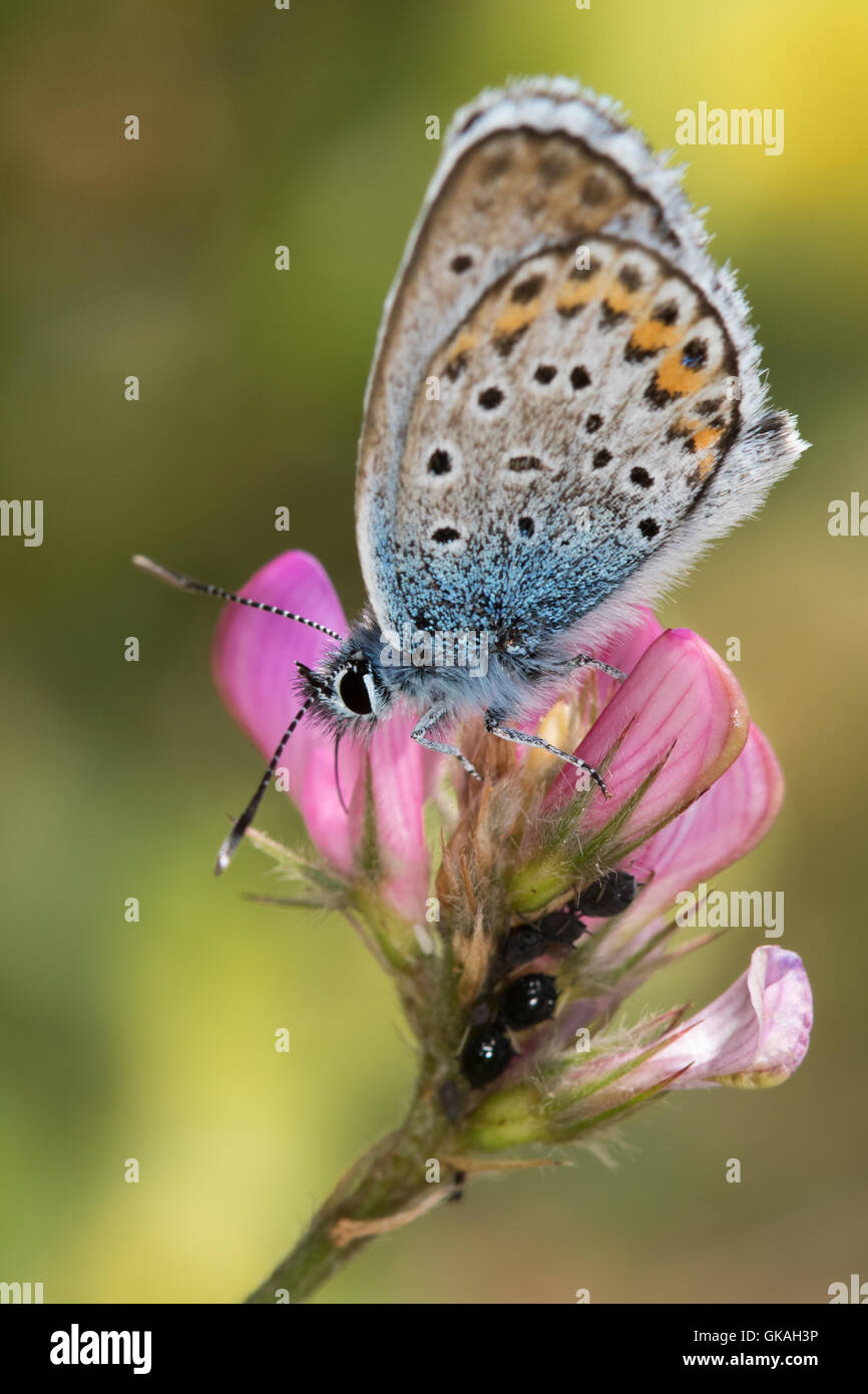 Idas Blue (Plebejus idas) feeding on Sainfoin (Onobrychis viciifolia) flower - Stock Image