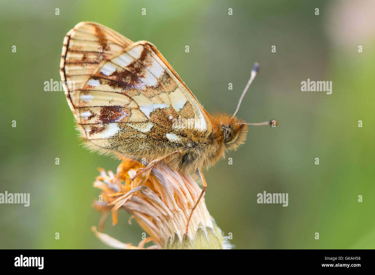 Shepherd's Fritillary (Boloria pales) butterfly showing its underwing - Stock Image