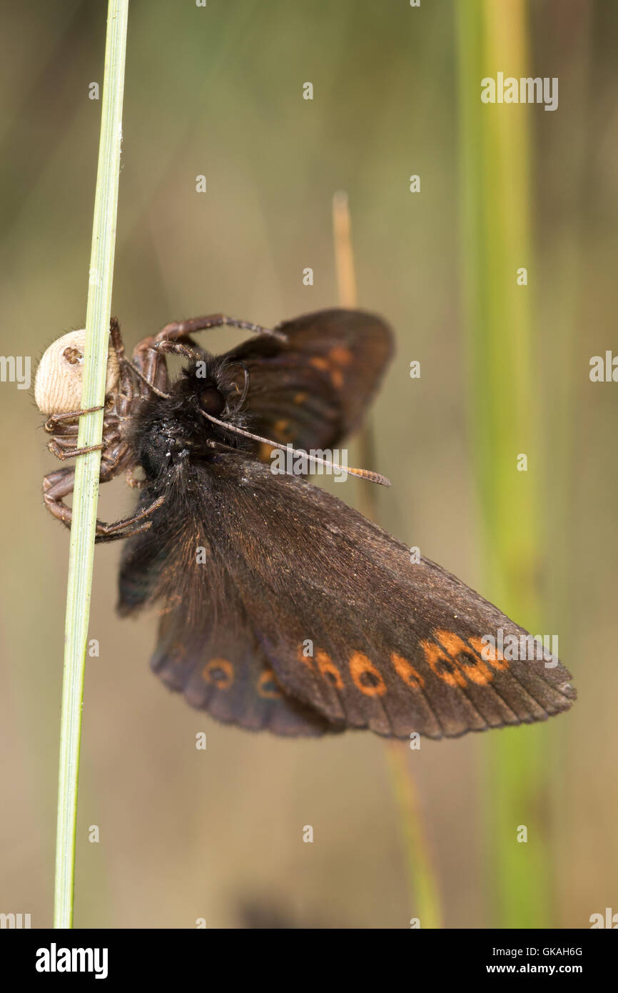 Almond-eyed Ringlet (Erebia alberganus) butterfly captured and being eaten by a spider - Stock Image