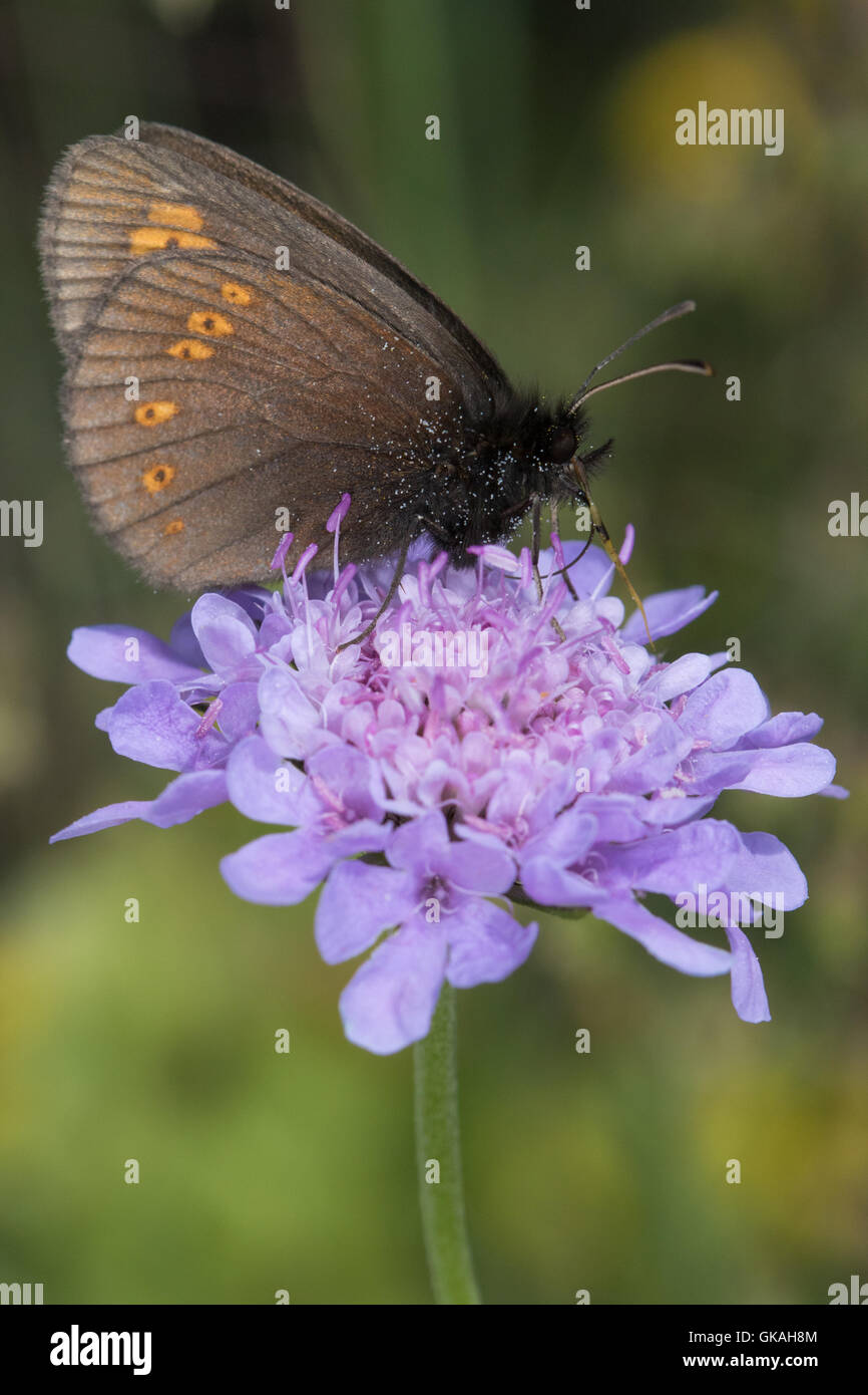 Almond-eyed Ringlet (Erebia alberganus) feeding on a Field Scabious (Knautia arvensis) flower - Stock Image