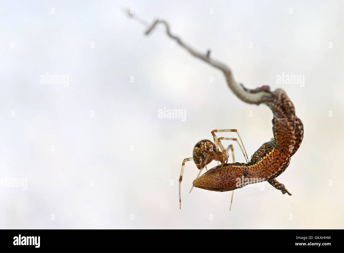 Spider feeding on a small lizard caught in its web against a white background - Stock Image