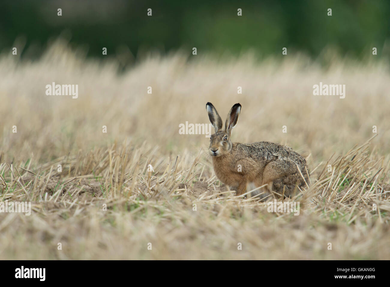 Anxious Brown Hare / European Hare / Feldhase ( Lepus europaeus ) sitting in a stubble field, harvested field. - Stock Image