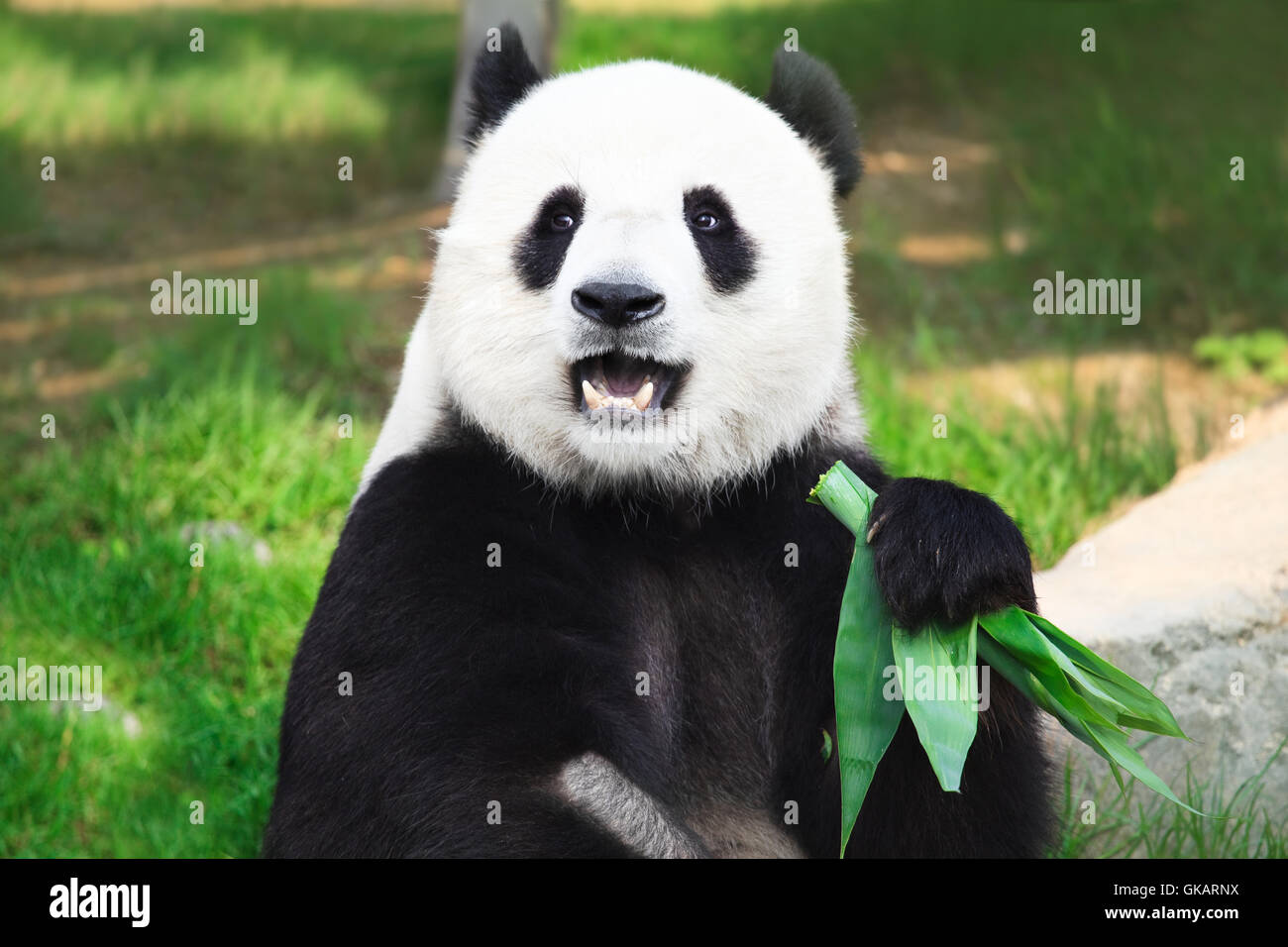 animal bear black Stock Photo