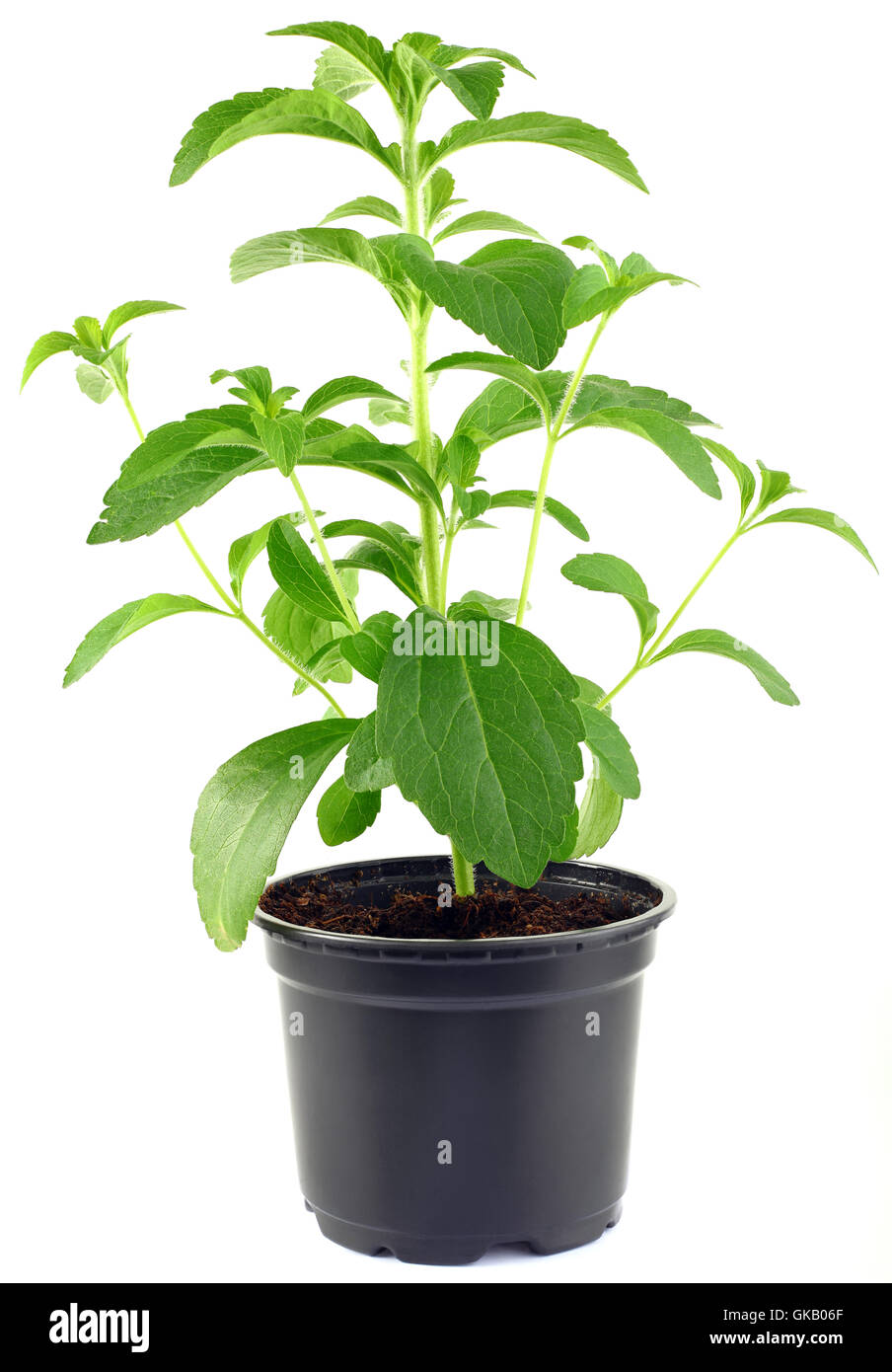 growth herb substitute - Stock Image