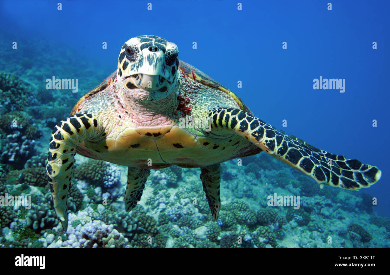 turtle - Stock Image
