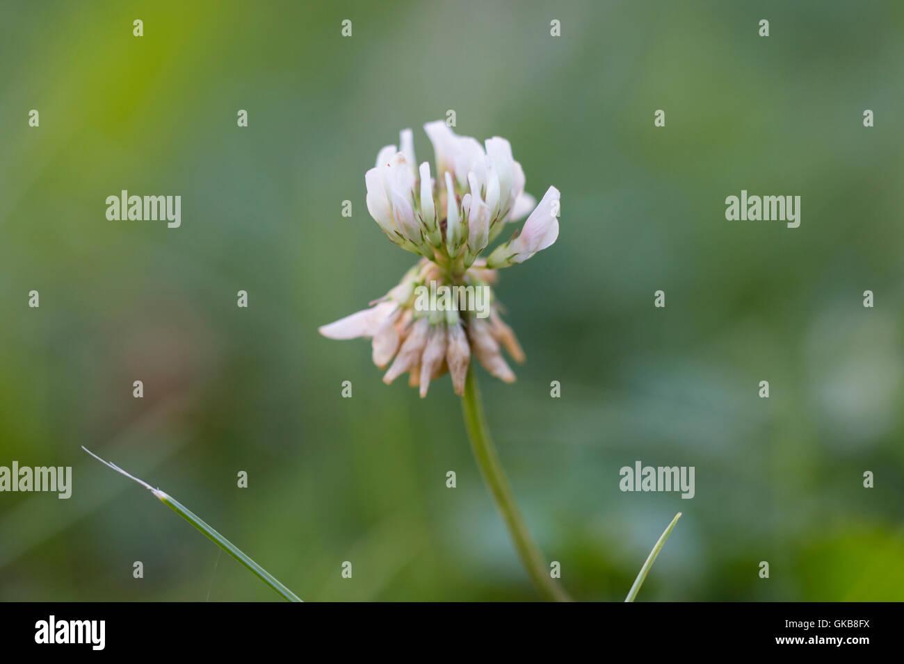 White  wild clover flower - Stock Image