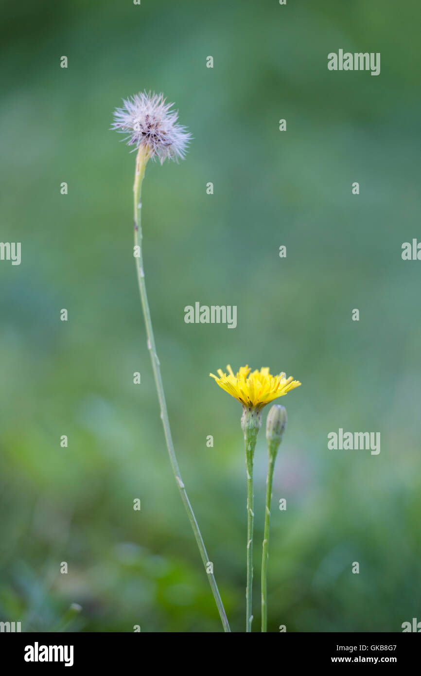 The flower and seed head  Detail of dandelion Taraxacum officinale - Stock Image