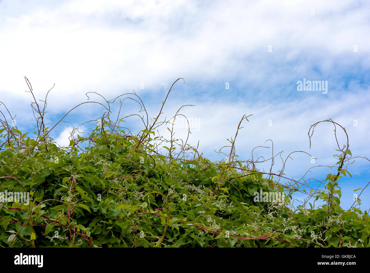 Hedgerow plants with tendrils reaching skyward blue sky with light cloud - Stock Image