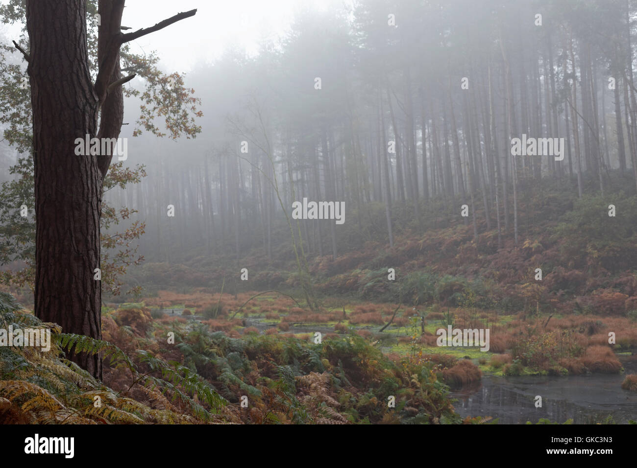 landscape, composition, trees, water, Delamere Forest, Cheshire, England, UK, - Stock Image