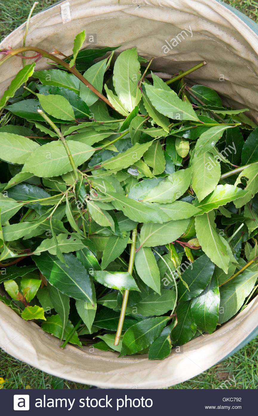 Laurus nobilis. Pruned Bay tree leaves in a collapsible waste bin - Stock Image