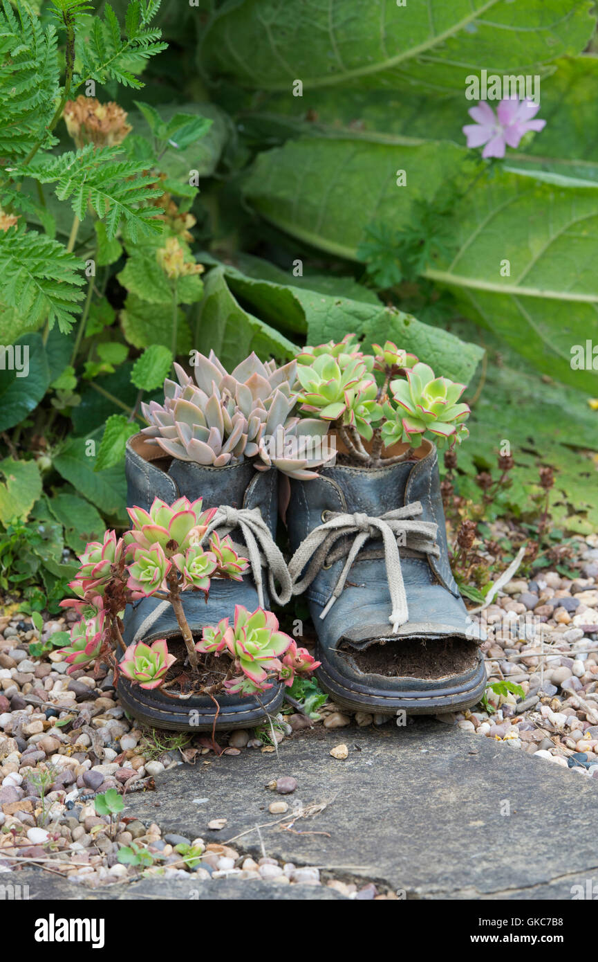 Echeveria plants growing in old boots - Stock Image