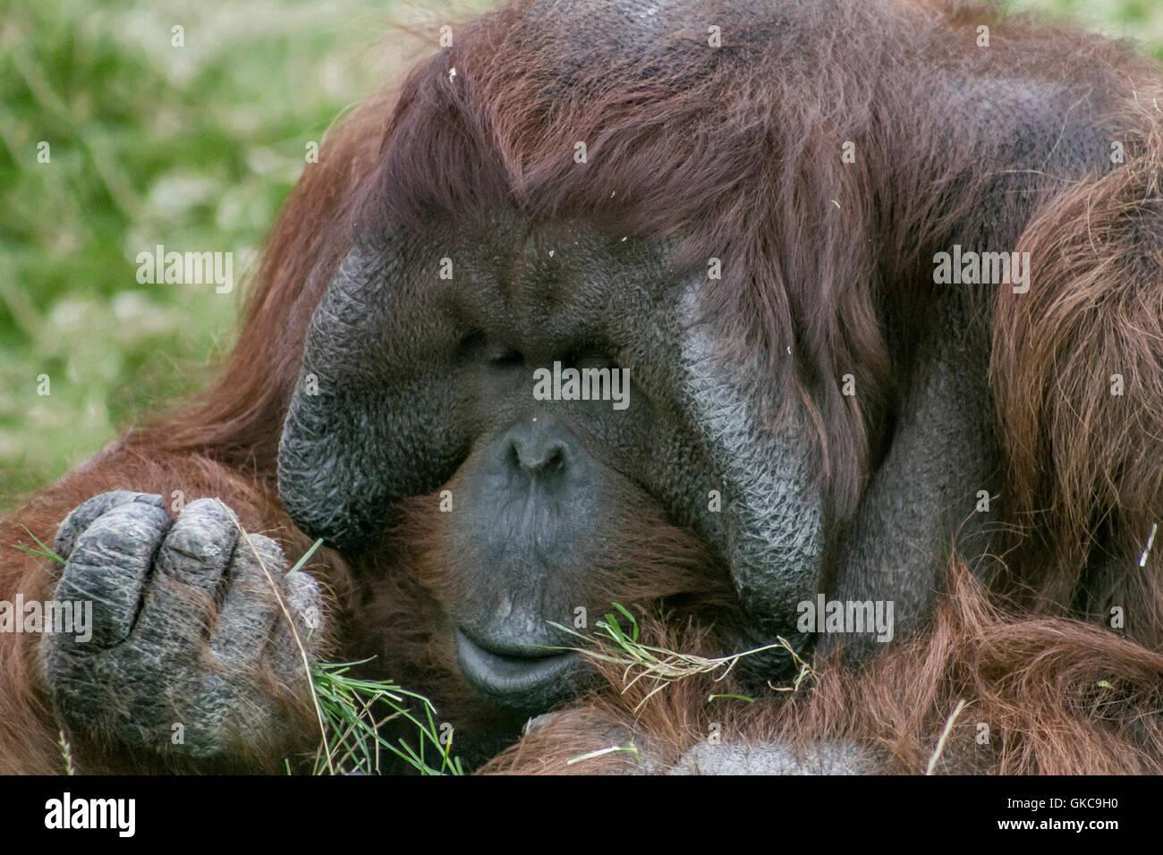 Male Orangutan. Stock Photo