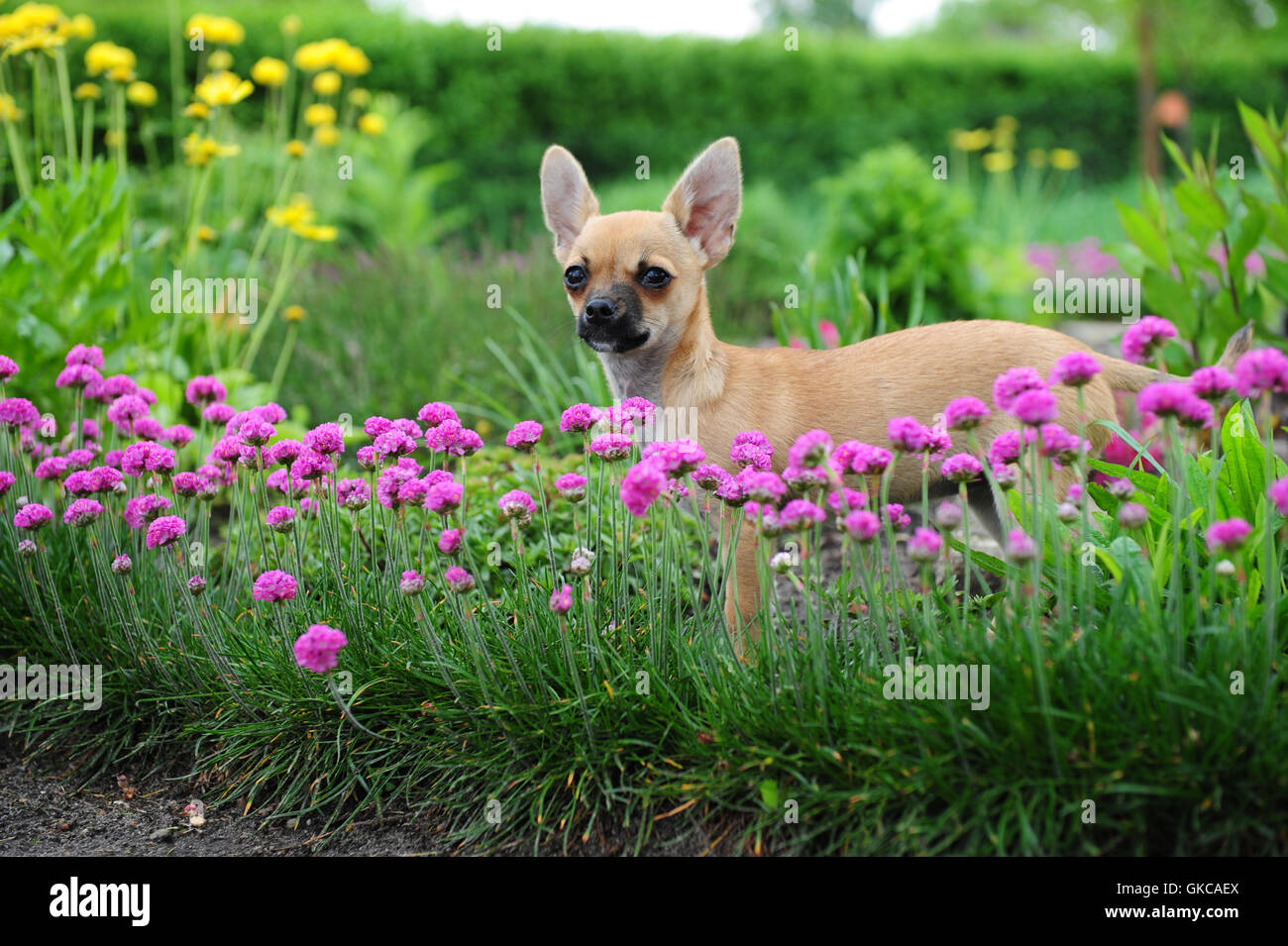 dog stands puppy - Stock Image