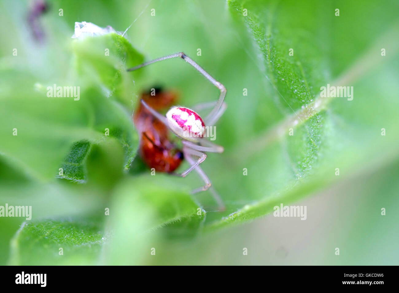 Candy-stripe Spider Enoplognatha ovata - Stock Image