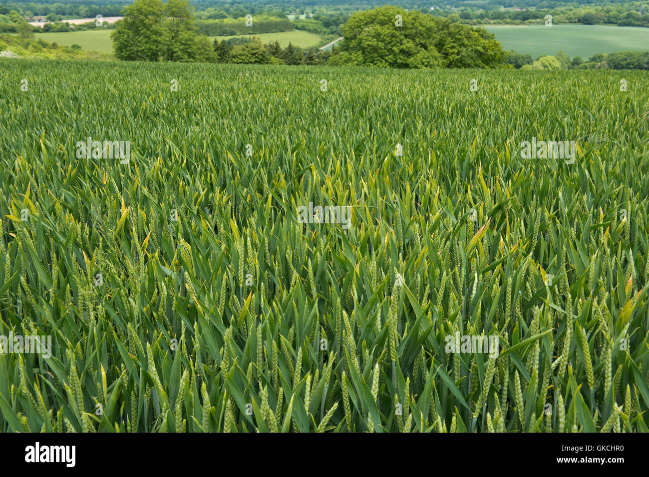 A mild focus of barley yellow dwarf virus, BYDV, infection in a winter wheat crop at flag leaf stage - Stock Image