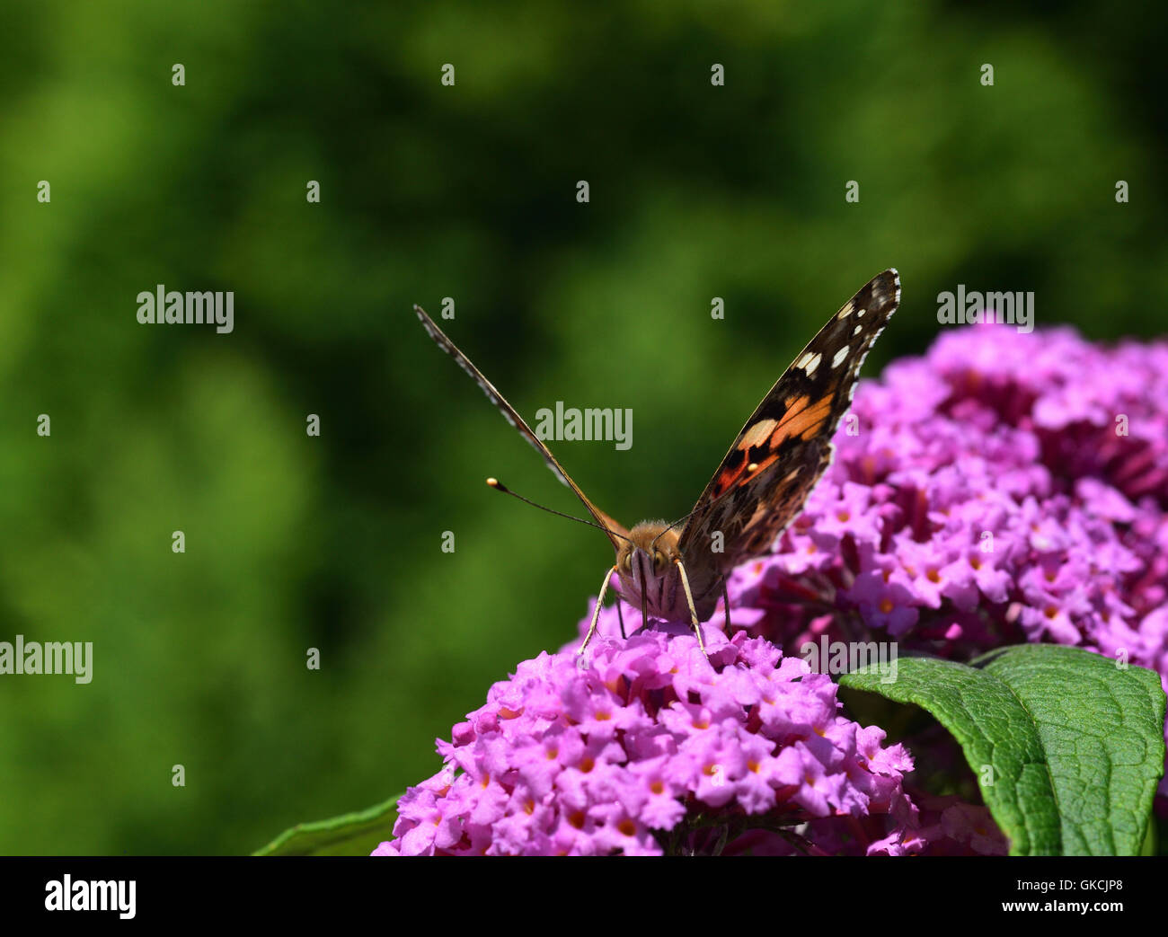Small Tortoiseshell Butterfly on the Buddleia - Stock Image