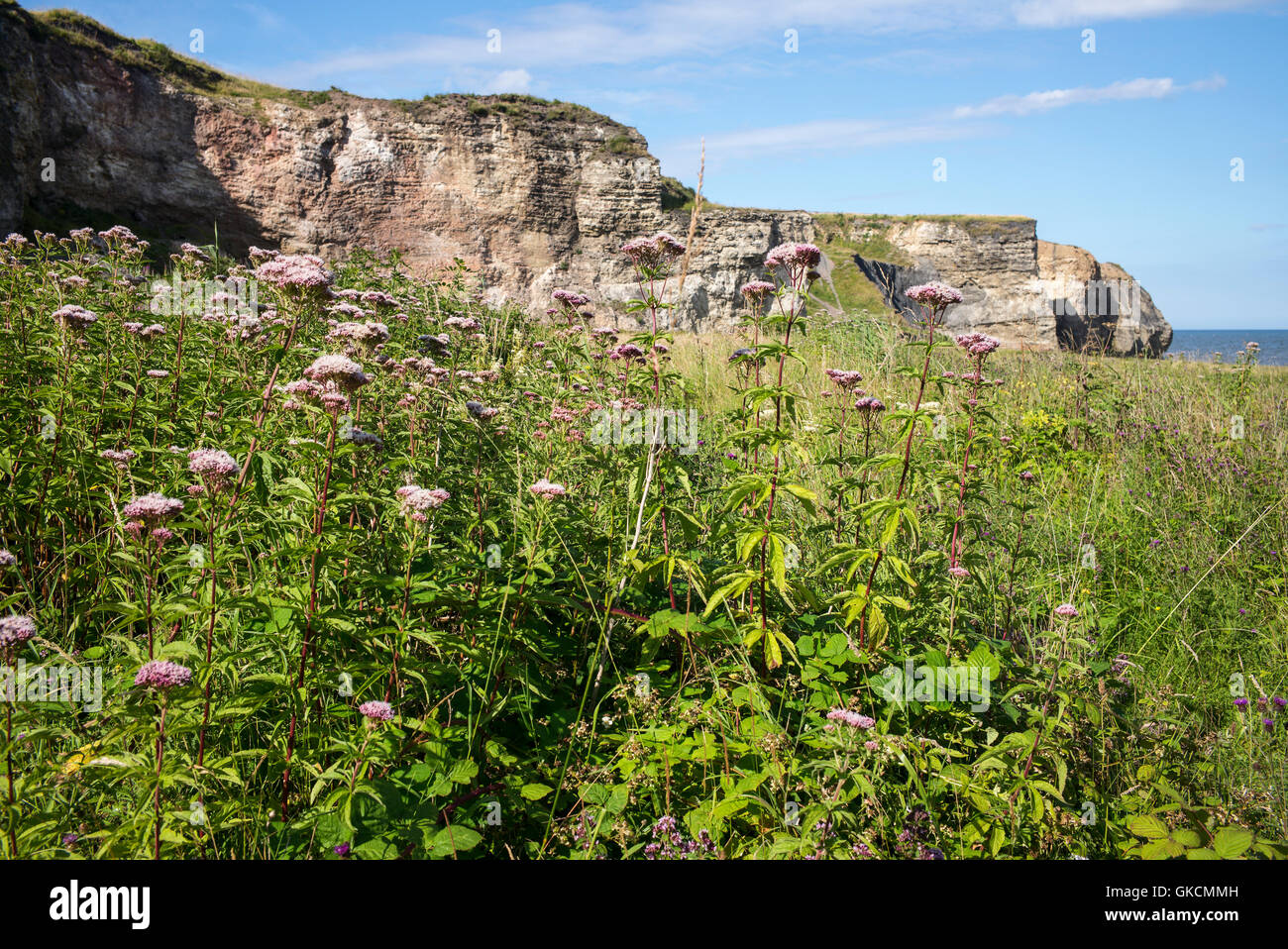 Eutrochium purpureum, syn. Eupatorium purpureum, Joe Pye Weed growing on Blast Beach with sea cliffs at Nose's - Stock Image