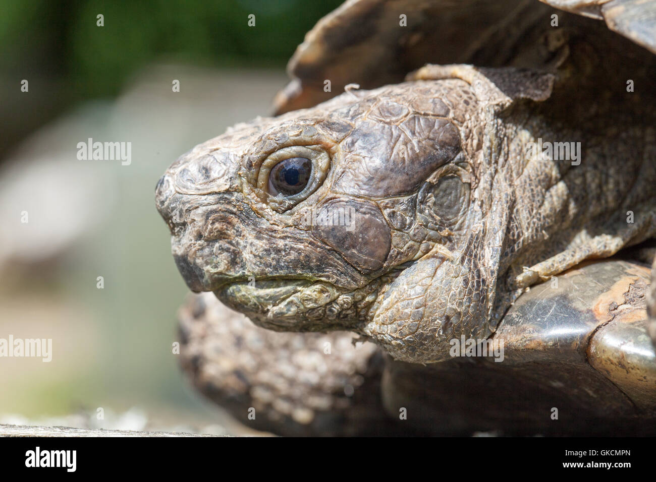 Mediterranean Spur-thighed Tortoise (Testudo  graeca). Tumour growth on side of lower jaw. Stock Photo
