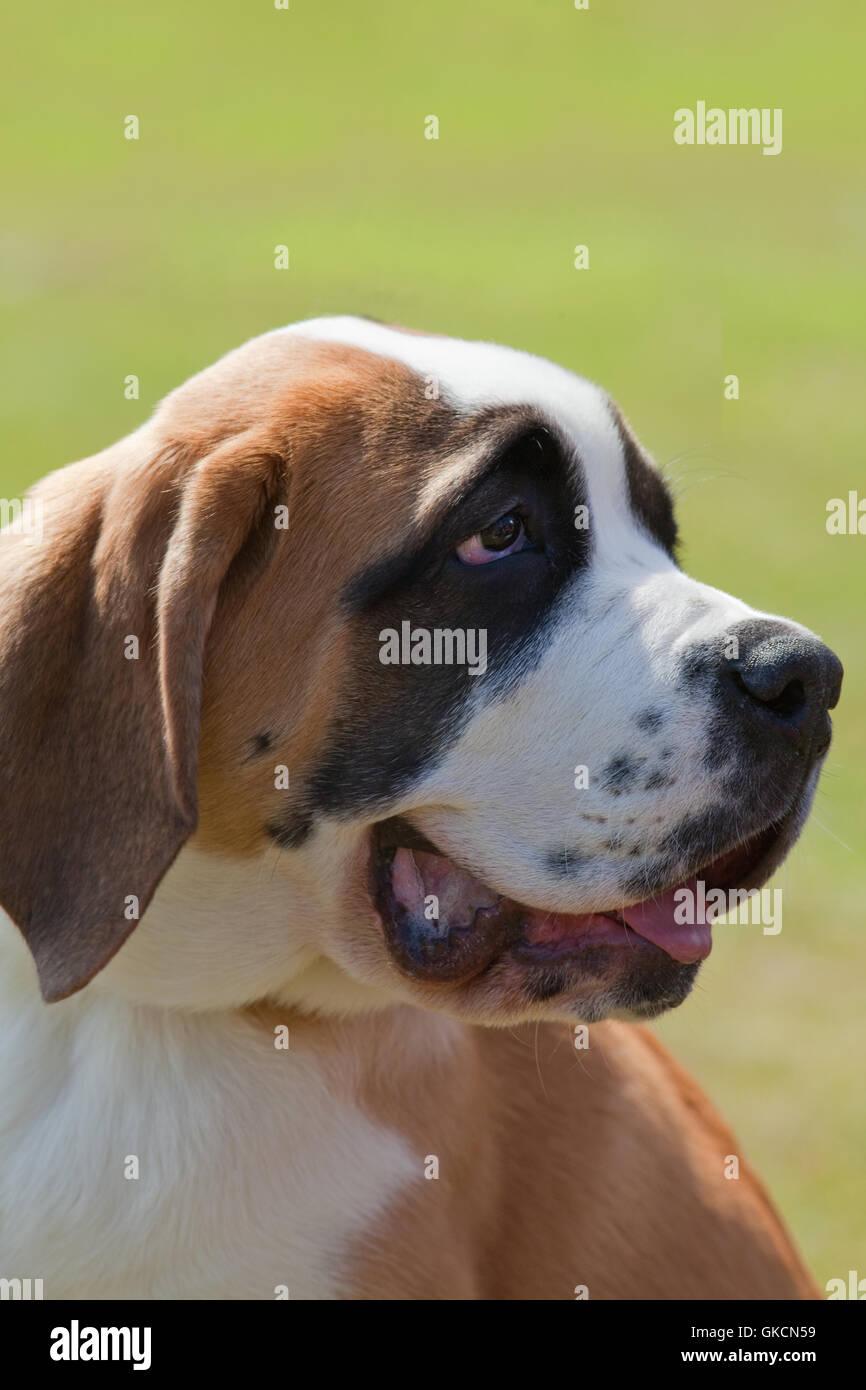 Saint Bernard's Dog (Canis lupus familiaris). - Stock Image