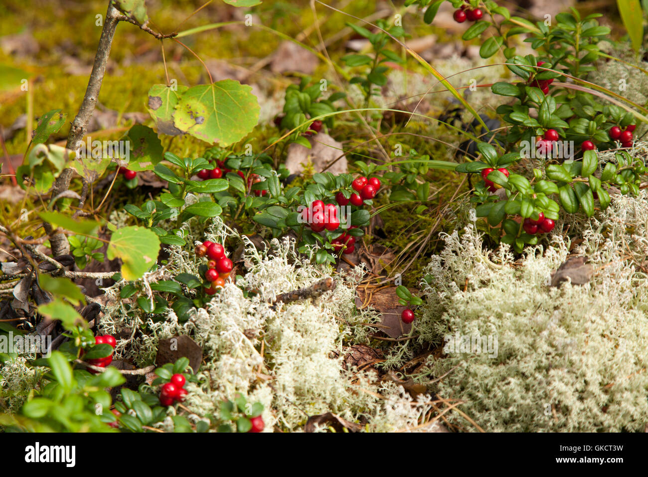 lingonberry ripening in the moss natural foraging background - Stock Image
