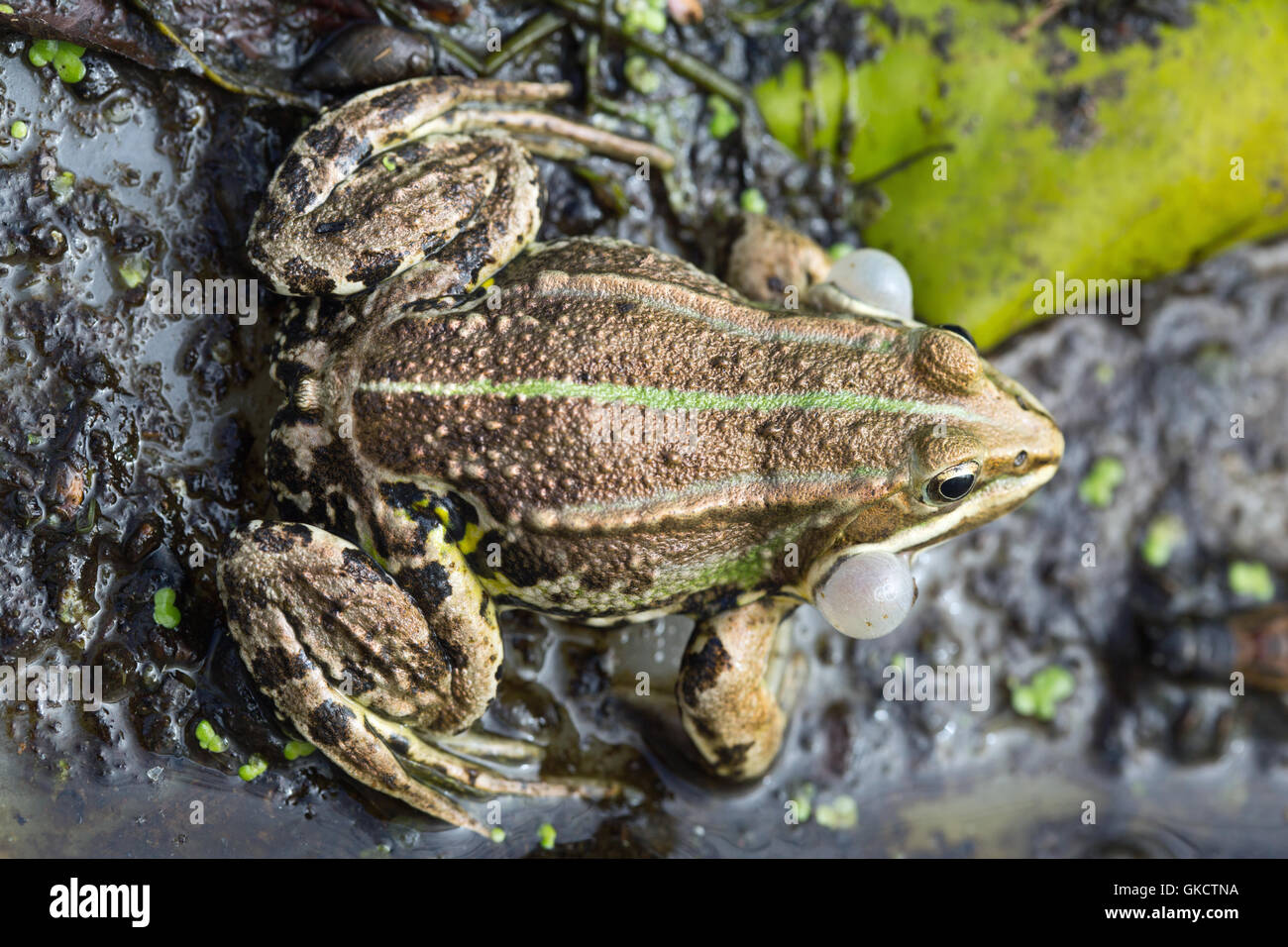 Pool Frog (Pelophylax lessonae). Male calling. Inflated lateral vocal sacs. - Stock Image