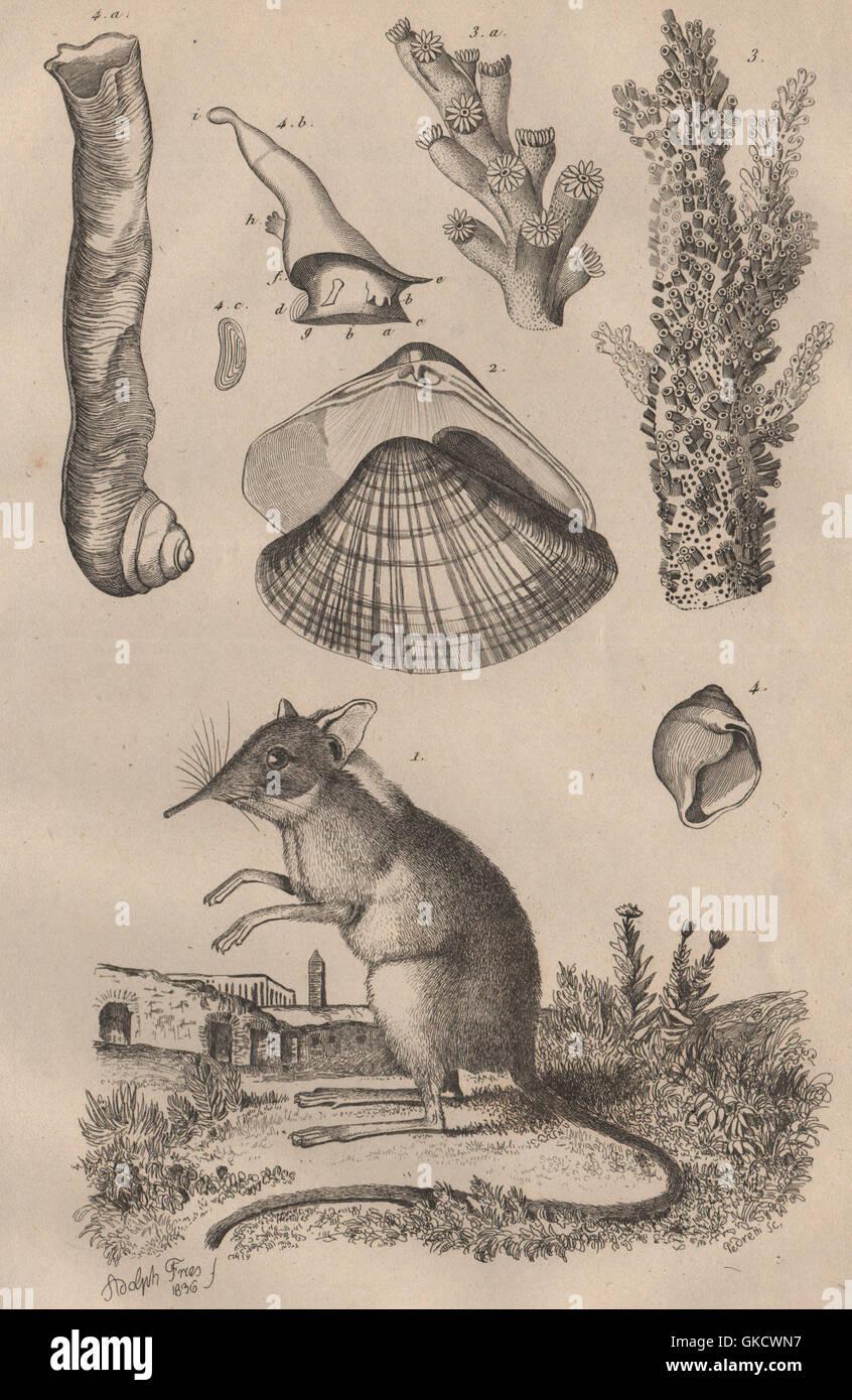 Shrew. Anodonta anatina/duck mussel. Madrepore stony coral.Magilus antiquus 1834 - Stock Image