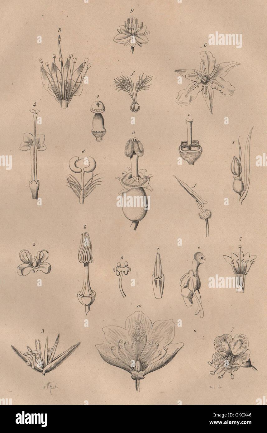 PARTS OF FLOWERS: Mariage des Plantes. Plants, antique print 1834 - Stock Image