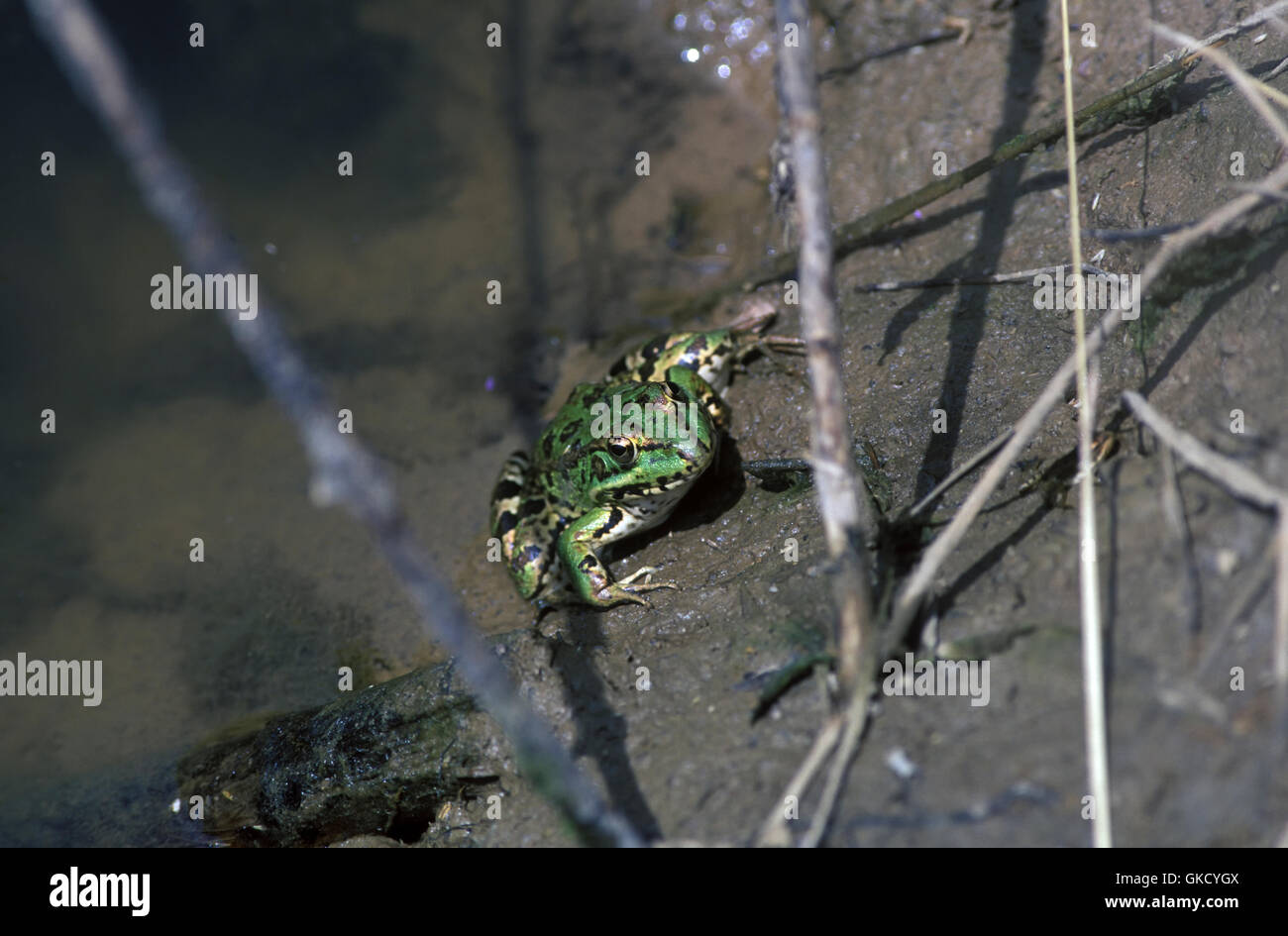 Marsh frog, Pelophylax ridibundus. On river bank. Portugal - Stock Image