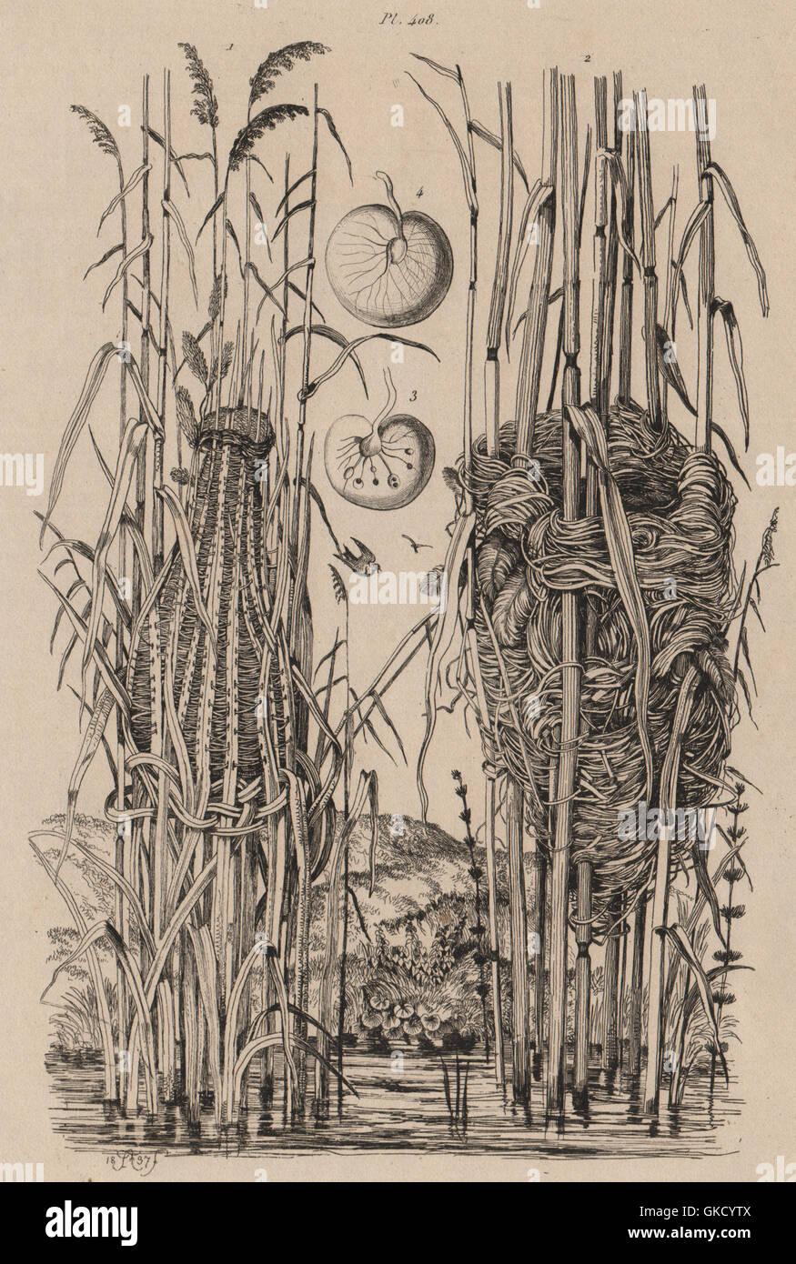 WARBLER NESTS: Golden-headed Cisticola. Reed warbler. Sea Sparkle, print 1834 - Stock Image