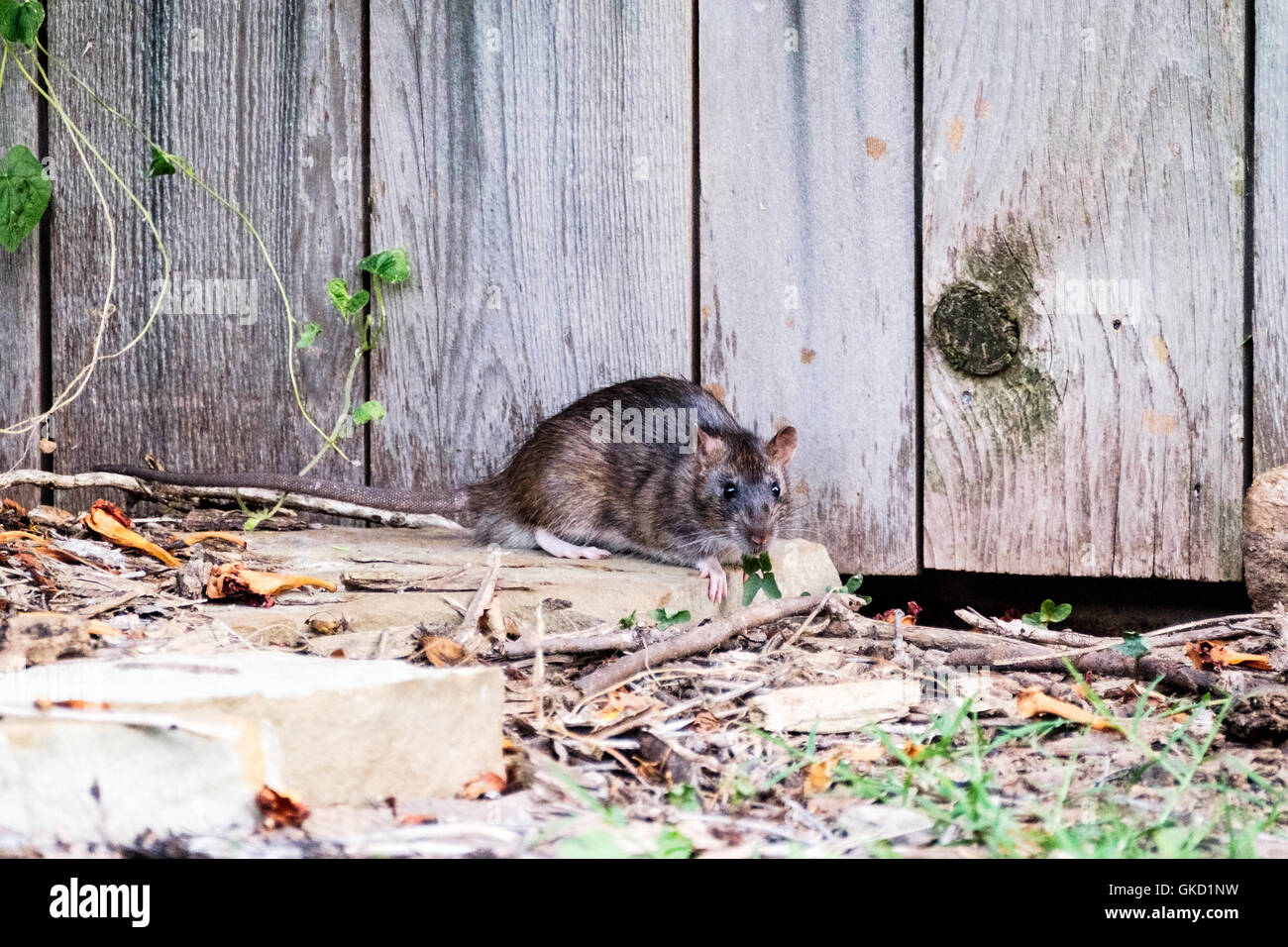 A pack rat, Neotoma, found in Oklahoma City, with habits of stealing sunflower seeds under a bird feeder. Oklahoma,USA. - Stock Image