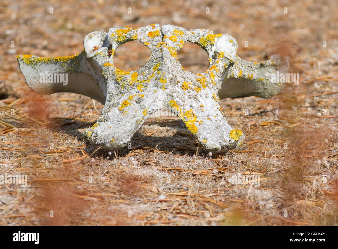 Old wild cow bones, pelvis which resemble an alien skull - Stock Image