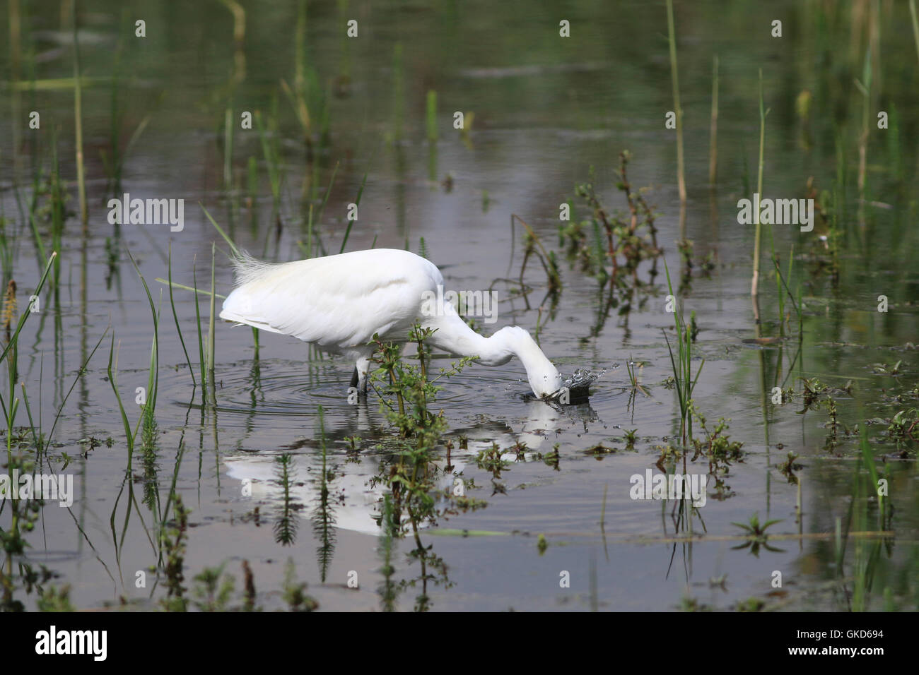 Little egret, Egretta garzetta, small, elegant white heron with head underwater - Stock Image