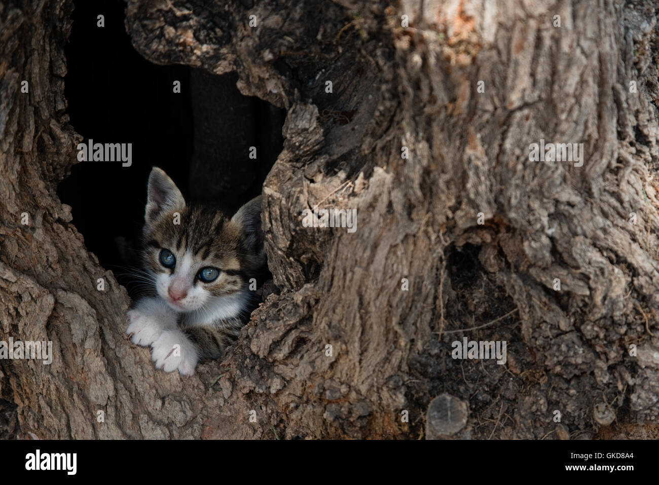 Playing hide-and-seek Little cat playing hide-and-seek with me, hiding itself into an empty tree. - Stock Image