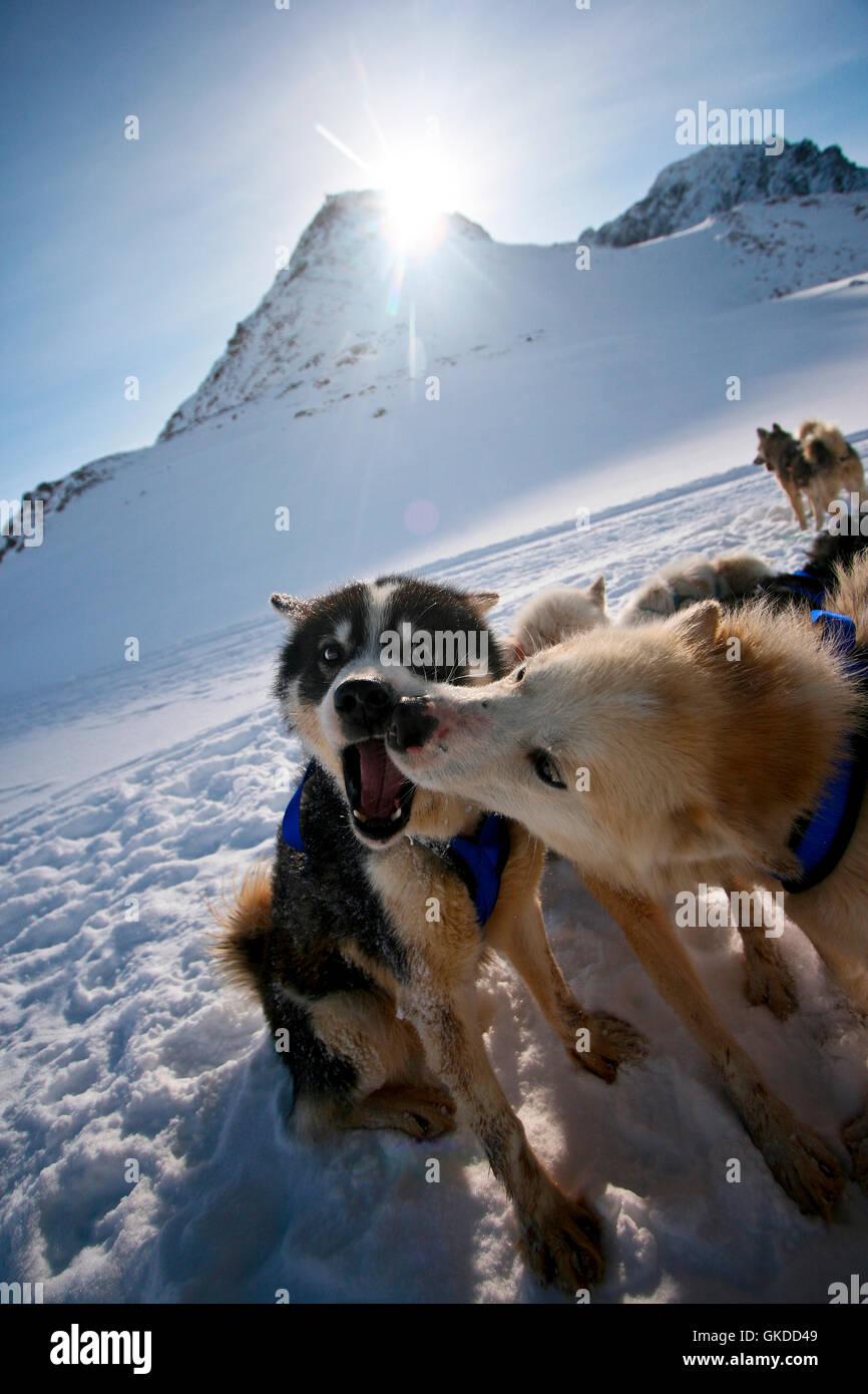 Sled dog. Greenland - Stock Image