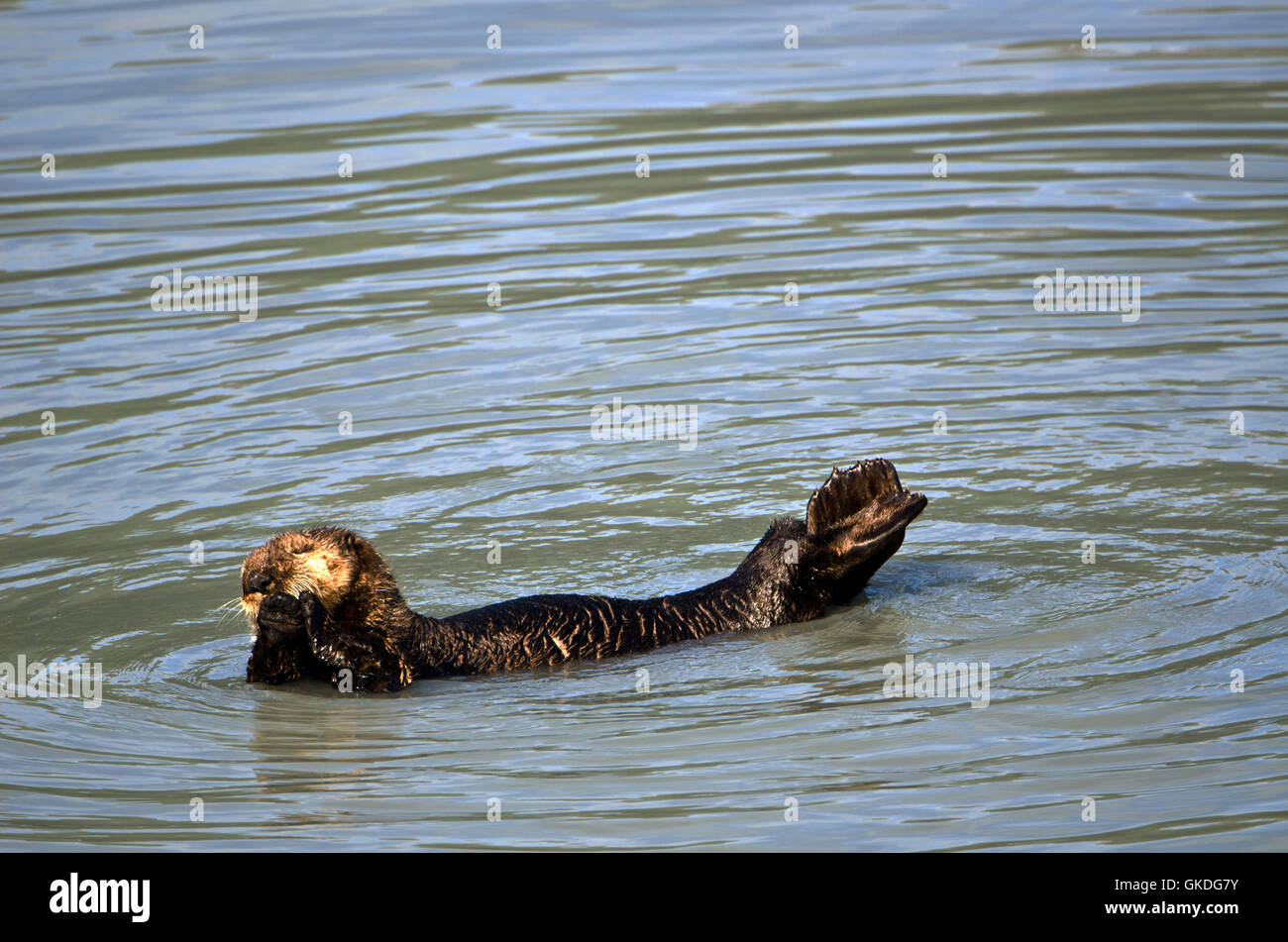 Seaotter swimming (Enhydra lutris) Resurrection Bay. Alaska Stock Photo