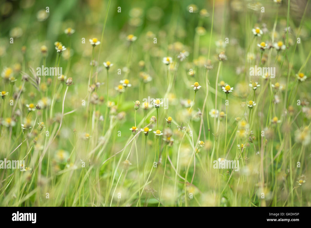 Little white flower yellow pollen stock photos little white flower little white flower with yellow pollen little iron weed grass flower stock mightylinksfo
