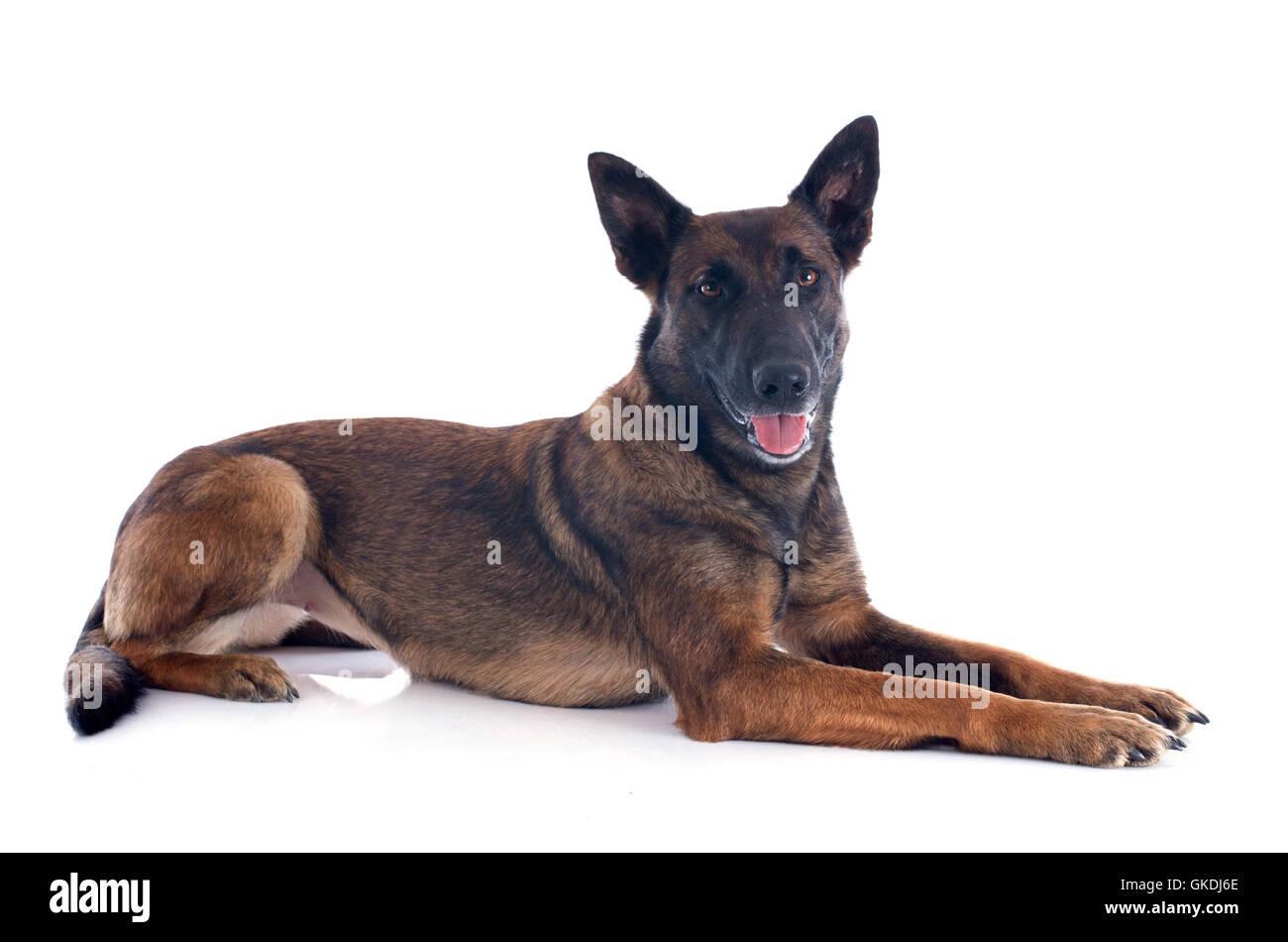 dog beautiful beauteously - Stock Image